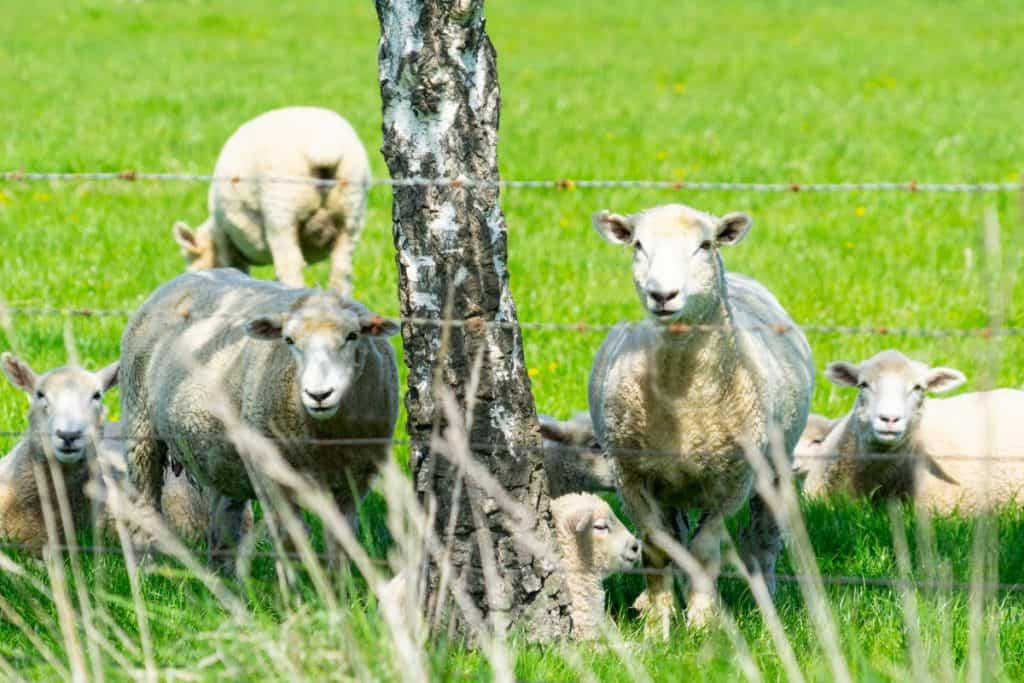 Sheep behind a barbed wire fence.